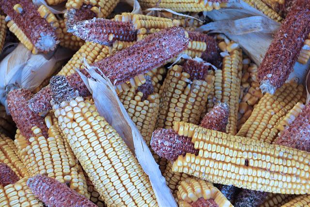 Alerta: siembra de maíz transgénico se podría decidir este viernes 24