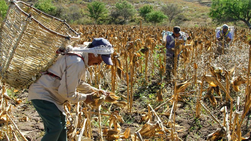 Fomento y protección del maíz nativo